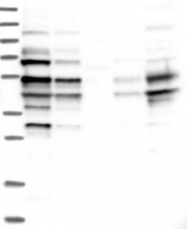 NBP1-83502 - C1orf55