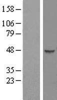 NBL1-08325 - C1orf59 Lysate
