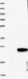 NBP1-81157 - C1orf64