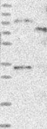 NBP1-83498 - C1orf65
