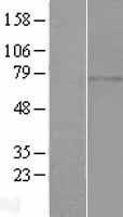 NBL1-08327 - C1orf65 Lysate