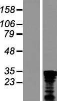 NBL1-08330 - C1orf77 Lysate