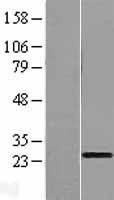 NBL1-08331 - C1orf83 Lysate