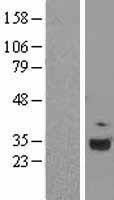 NBL1-08337 - C1q Lysate
