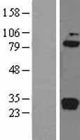 NBL1-08349 - C1r Lysate