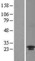 NBL1-08357 - C20orf11 Lysate