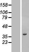 NBL1-08366 - C20orf195 Lysate