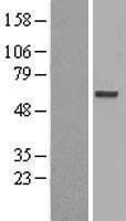 NBL1-10109 - C20orf31 Lysate