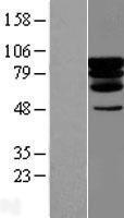 NBL1-14178 - C20orf67 Lysate