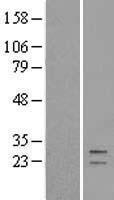 NBL1-08385 - C21orf33 Lysate
