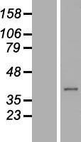 NBL1-08391 - C21orf91 Lysate