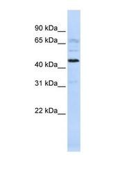 NBP1-70465 - C22orf9