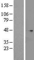 NBL1-08405 - C2orf24 Lysate
