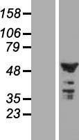 NBL1-08408 - C2orf29 Lysate