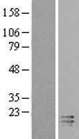 NBL1-08412 - C2orf40 Lysate