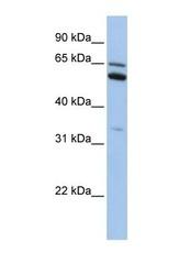 NBP1-70466 - C2orf42
