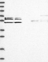 NBP1-83612 - C2orf44