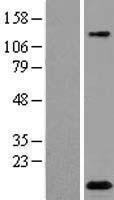 NBL1-13058 - C2orf88 Lysate