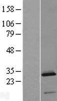 NBL1-13059 - C2orf88 Lysate