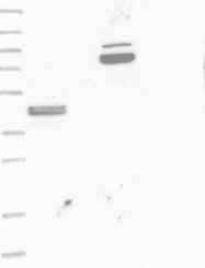 NBP1-89321 - AAT1 / C3orf15