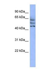 NBP1-70470 - C3orf19