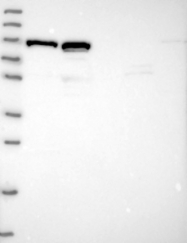 NBP1-90544 - C3orf20