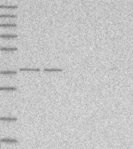 NBP1-81147 - C3orf38