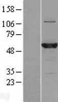 NBL1-08453 - C3orf59 Lysate