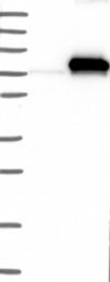NBP1-88262 - C4b-binding protein alpha
