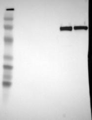 NBP1-88263 - C4b-binding protein alpha