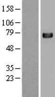 NBL1-08458 - C4 binding protein A Lysate