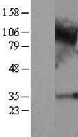 NBL1-08465 - C4orf19 Lysate