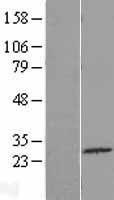 NBL1-08467 - C4orf22 Lysate