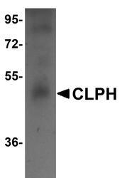 NBP1-77091 - CLPH / C4orf35