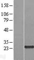 NBL1-08486 - C5orf24 Lysate