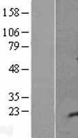 NBL1-12612 - C5orf53 Lysate