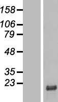 NBL1-08502 - C6orf1 Lysate