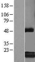 NBL1-08506 - C6orf108 Lysate
