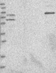 NBP1-88727 - C6orf118