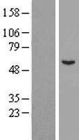 NBL1-08509 - C6orf118 Lysate