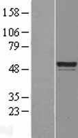 NBL1-08514 - C6orf134 Lysate