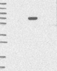 NBP1-93471 - C6orf146