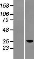 NBL1-08518 - C6orf154 Lysate
