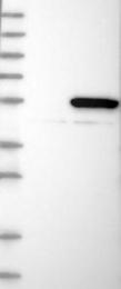 NBP1-82276 - C6orf211