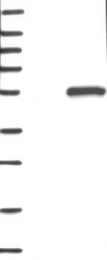 NBP1-82277 - C6orf211