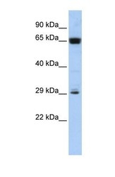 NBP1-70477 - C6orf223