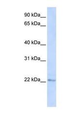 NBP1-60043 - C6orf64