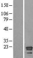 NBL1-08536 - C6orf64 Lysate