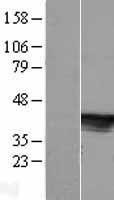 NBL1-08539 - C6orf81 Lysate
