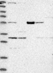NBP1-84270 - C7orf10